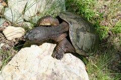 De schildpad beklimt Royalty-vrije Stock Foto