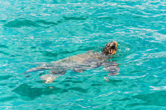 De schildpad caretta-Caretta nam tot de oppervlakte toe om lucht te ademen Royalty-vrije Stock Foto's
