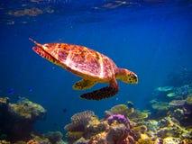 De Schildpad die van Hawksbill als het vliegen zwemt Stock Afbeeldingen