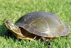 De schildpad die van het huisdier in het gras kruipt Stock Afbeelding