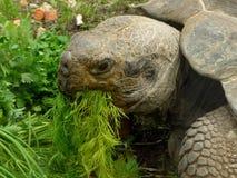 De schildpad eet gras Stock Afbeelding