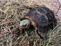 De Schildpad elongata Indotestudo van Eiongate van de schildpad Stock Foto's