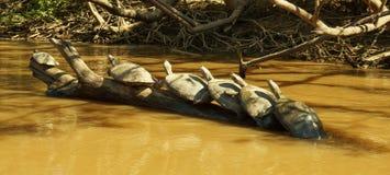 De schildpad komt omhoog in de rivier van Amazonië samen stock afbeeldingen