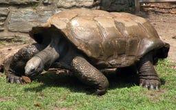 De schildpad na zwemt Stock Fotografie
