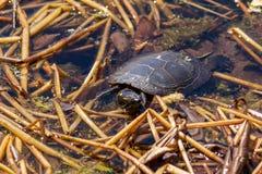 De schildpad neemt zon bij de Botanische Tuin van Montreal stock afbeeldingen