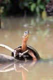De schildpad rekte hoog hoofd uit Stock Fotografie