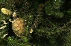 De schildpad van Brazilië en grasachtergrond Stock Fotografie