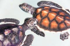 De schildpad van de baby Stock Fotografie