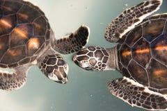 De schildpad van de baby Stock Foto