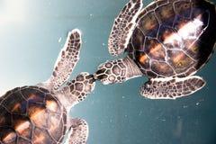De schildpad van de baby Royalty-vrije Stock Afbeeldingen