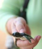 De schildpad van de baby stock afbeelding