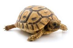 De schildpad van de baby Stock Foto's