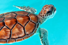 De schildpad van de baby in het water Royalty-vrije Stock Fotografie