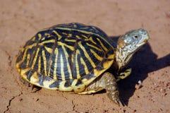 De Schildpad van de doos Stock Afbeeldingen