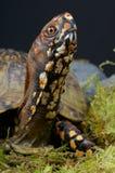 De Schildpad van de doos Stock Foto