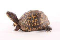 De Schildpad van de doos Stock Fotografie