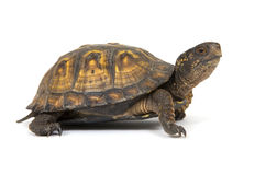 De schildpad van de doos op een witte achtergrond Stock Fotografie
