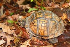 De Schildpad van de doos (Terrapene Carolina) royalty-vrije stock afbeeldingen