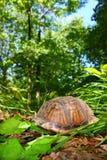 De Schildpad van de doos (Terrapene Carolina) Royalty-vrije Stock Foto