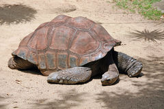 De Schildpad van de Galapagos Royalty-vrije Stock Foto's