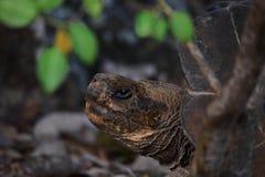 De Schildpad van de Galapagos Royalty-vrije Stock Afbeelding