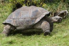 De Schildpad van de Galapagos - schildpad Royalty-vrije Stock Afbeeldingen