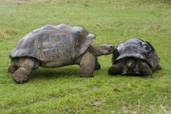 De Schildpad van de Galapagos - schildpadden Stock Afbeeldingen