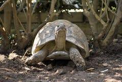 De Schildpad van de luipaard in de Schaduw royalty-vrije stock foto