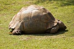 De Schildpad van de luipaard in de Zon Stock Fotografie
