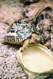 De Schildpad van de luipaard (pardalis Geochelone) Royalty-vrije Stock Fotografie