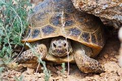 De Schildpad van de steppe Stock Afbeelding