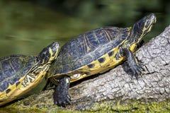 De schildpad van de vijverschuif het zonnebaden Stock Foto