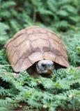De schildpad van de woestijn Stock Foto's