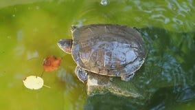 De schildpad van een steen springt in water en drijft stock video