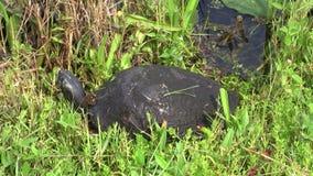De schildpad van Florida cooter in de weide stock videobeelden