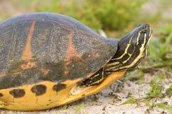 De Schildpad van Florida Redbelly (Pseudemys Nelson) Royalty-vrije Stock Afbeeldingen