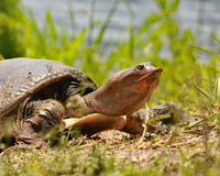 De Schildpad van Florida Softshell stock afbeelding