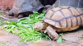 De schildpad van de Galapagos Grote schildpad Het concept dieren in de dierentuin stock video