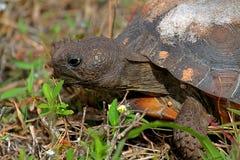 De Schildpad van gopher (polyphemus Gopherus) royalty-vrije stock afbeelding