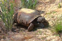 De Schildpad van gopher (polyphemus Gopherus) stock afbeelding