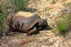 De Schildpad van gopher (polyphemus Gopherus) royalty-vrije stock foto