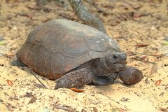 De Schildpad van gopher (polyphemus Gopherus) royalty-vrije stock fotografie