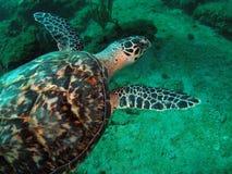 De Schildpad van Hawkbill Royalty-vrije Stock Foto's