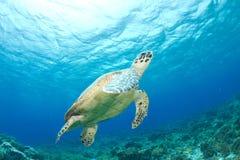 De schildpad van Hawksbill royalty-vrije stock foto