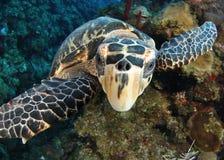 De Schildpad van Hawksbill Royalty-vrije Stock Afbeeldingen