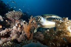 De schildpad van Hawksbill (eretmochelys imbricata) Stock Fotografie