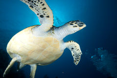 De schildpad van Hawksbill (eretmochelys imbricata) Stock Foto