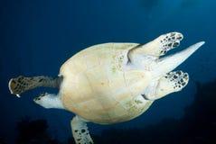 De schildpad van Hawksbill (eretmochelys imbricata) Royalty-vrije Stock Foto