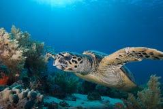 De schildpad van Hawksbill (eretmochelys imbricata) Stock Foto's