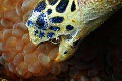De schildpad van Hawksbill het eten Stock Afbeelding